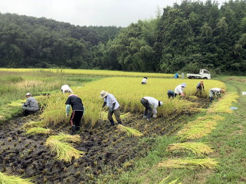 2020年 稲刈り体験1